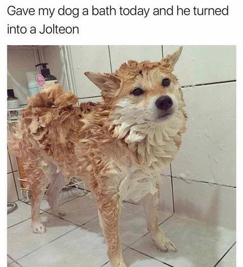 Dog - Gave my dog a bath today and he turned into a Jolteon