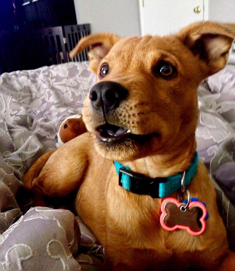 Photo i8ajqlu2z from Reddit - Dog on a bed that has similar facial features to Scooby Doo with large metallic bone shaped name tag and a curious glitter in his eyes.