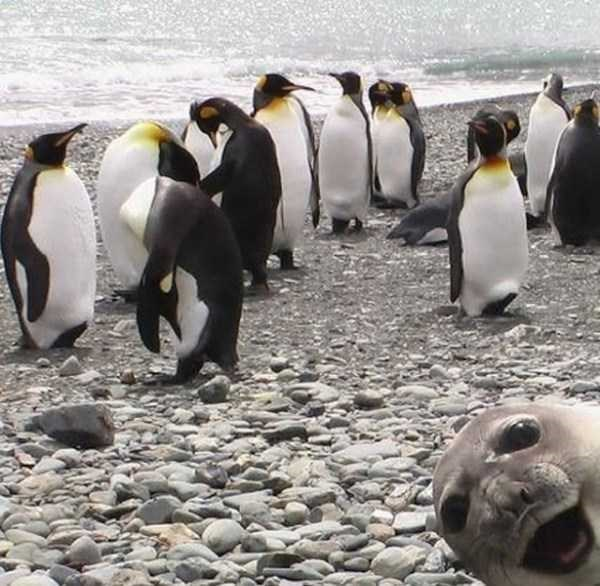 animal photobombs - Penguin