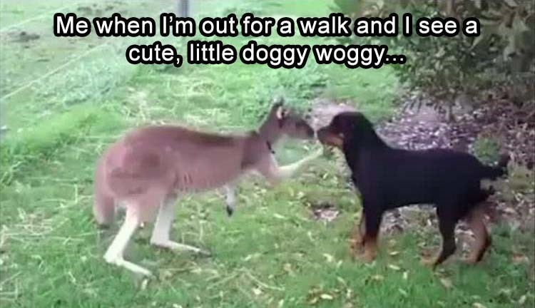 animal meme - Mammal - Me when m out for a walk and I see a cute, little doggy woggy