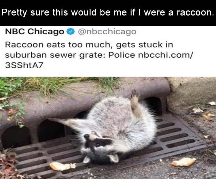animal meme - Adaptation - Pretty sure this would be me if I were a raccoon. NBC Chicago @nbcchicago Raccoon eats too much, gets stuck in suburban sewer grate: Police nbcchi.com/ 3SShtA7