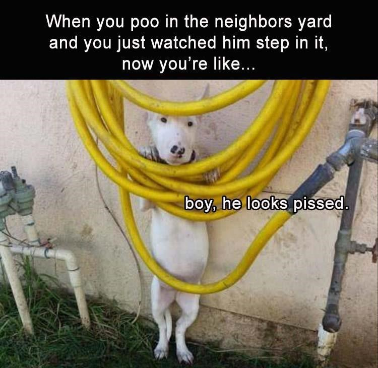 animal meme - Photo caption - When you poo in the neighbors yard and you just watched him step in it, now you're like... boy, he looks pissed.