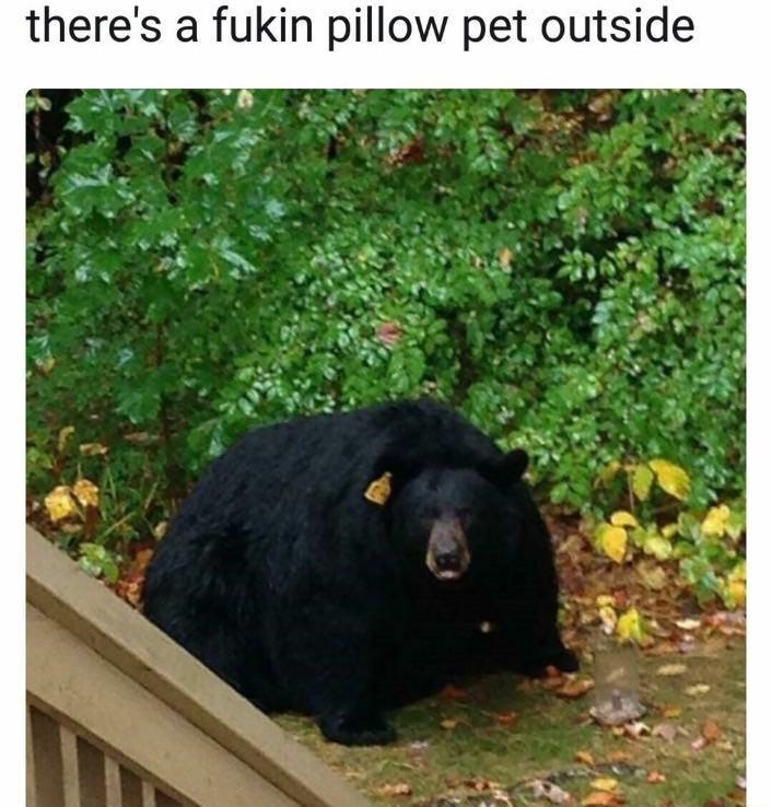 IRL cute bear Memes funny fat animals - 9148979968