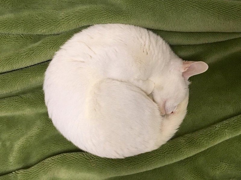 cute white napping cat on a green background