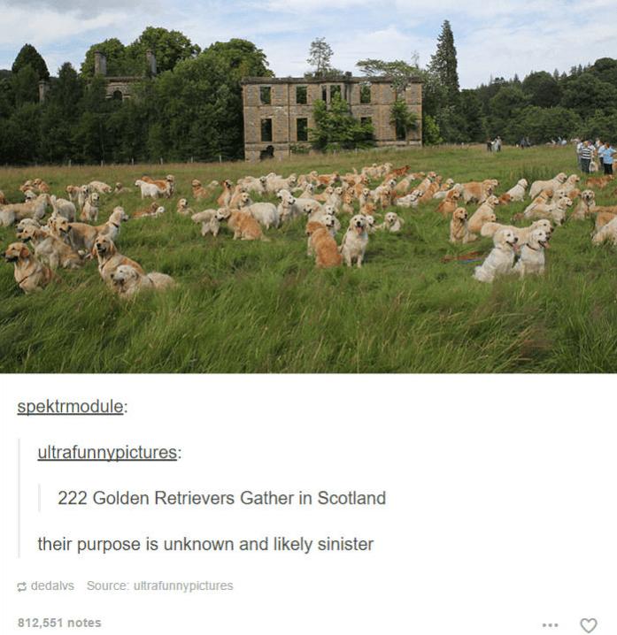 group of many golren retrivers in grass outside scotland