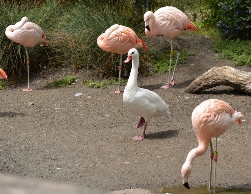 duck lifting one leg standing among flamingos lifting one leg