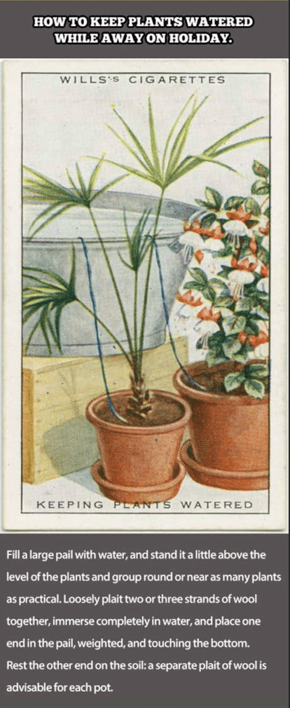 Flower - HOW TO KEEP PLANTS WATERED WHILE AWAY ON HOLIDAY WILLS'S CIGARETTES KEEPING PLANTS WATERED Fill a large pail with water, and stand it a little above the level of the plants and group round or near as many plants as practical. Loosely plait two or three strands of wool together, immerse completely in water, and place one end in the pail, weighted, and touching the bottom. Rest the other end on the soil: a separate plait of wool is advisable for each pot.