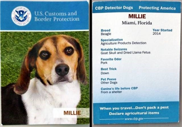 Dog - CBP Detector Dogs Protecting America U.S. Customs and Border Protection MILLIE Miami, Florida Year Started 2014 Breed Beagle Specialization Agriculture Products Detection Notable Seizures Goat Skull and Dried Llama Fetus Favorite Odor Pork Best Trick Down Pet Peeve Other Dogs Canine's life before CBP From a sheiter When you travel...Don't pack a pest Declare agricultural items www.cbp.gov MILLIE