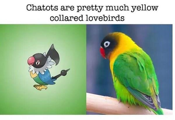 Bird - Chatots are pretty much yellow collared lovebirds