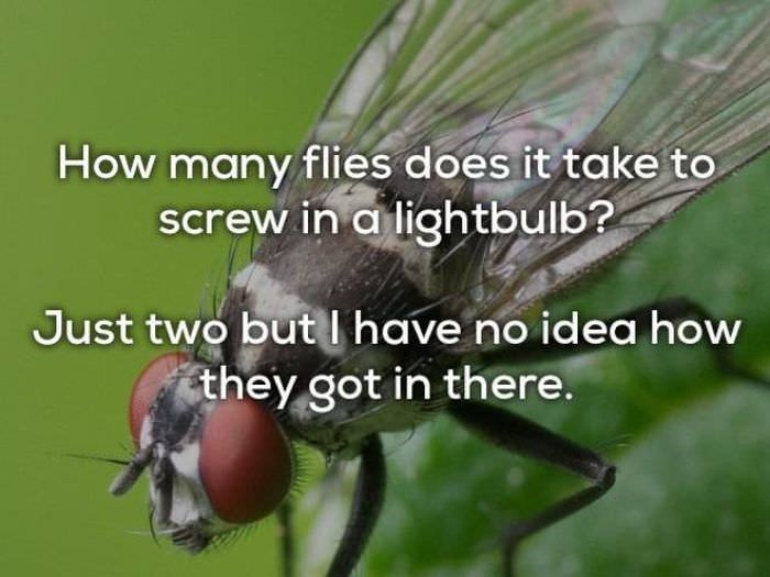 bad joke - Insect - How many flies does it take to screw in a lightbulb? Just two butI have no idea how they got in there.