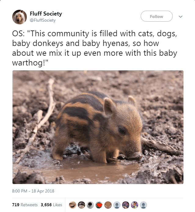 """Adaptation - Fluff Society @FluffSociety Follow OS: """"This community is filled with cats, dogs, baby donkeys and baby hyenas, so how about we mix it up even more with this baby warthog!"""" 8:00 PM -18 Apr 2018 719 Retweets 3,656 Likes"""
