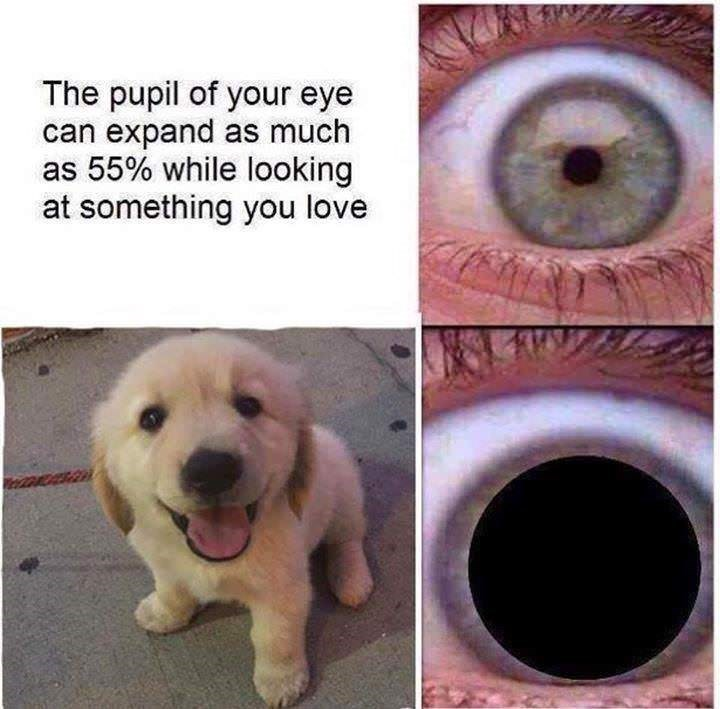 dog meme of a golden retriever puppy and that enlarged pupils shows love