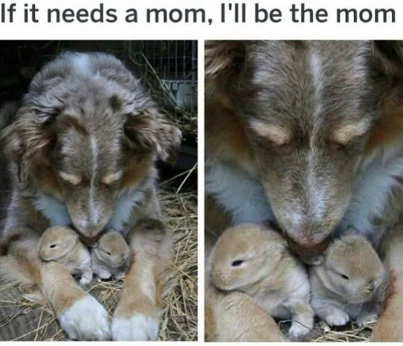 dog meme with a dog cuddling bunnies that were just born