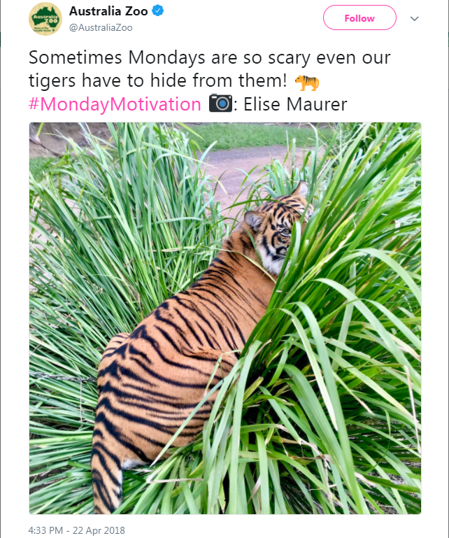 Bengal tiger - Australia Zoo Ausral Z00 Follow @AustraliaZoo Sometimes Mondays are so scary even our tigers have to hide from them!pr #MondayMotivation Elise Maurer 4:33 PM - 22 Apr 2018