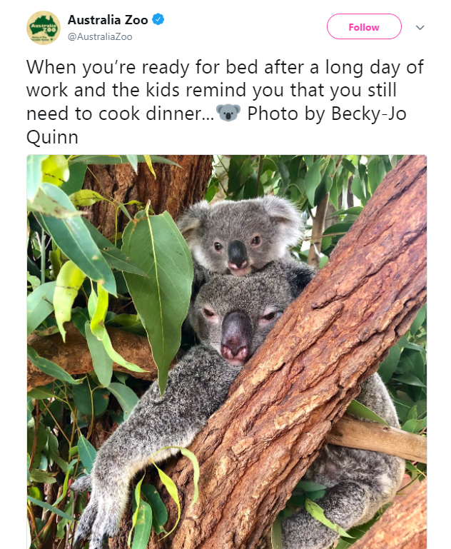 Koala - Australia Zoo Auseratin Follow @AustraliaZoo When you're ready for bed after a long day of work and the kids remind you that you still Photo by Becky-Jo need to cook dinner... Quinn