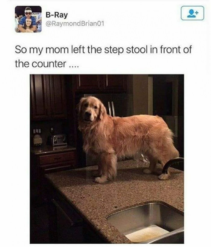 Golden retriever standing on a counter