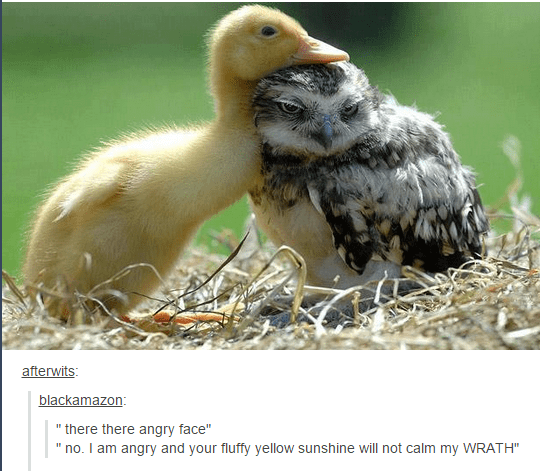 """funny tumblr post ducking and baby owl there there angry face"""" no. I am angry and your fluffy yellow sunshine will not calm my WRATH"""""""