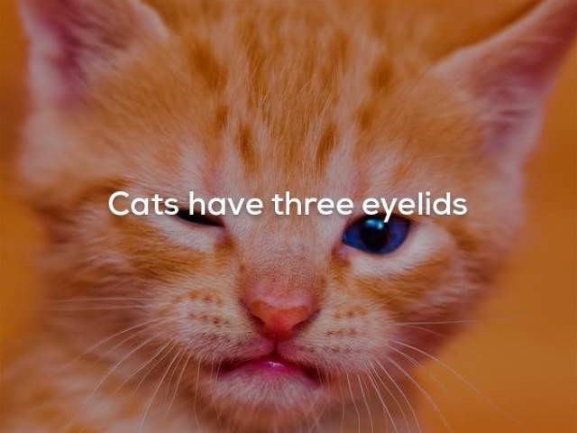 Cat - Cats have three eyelids