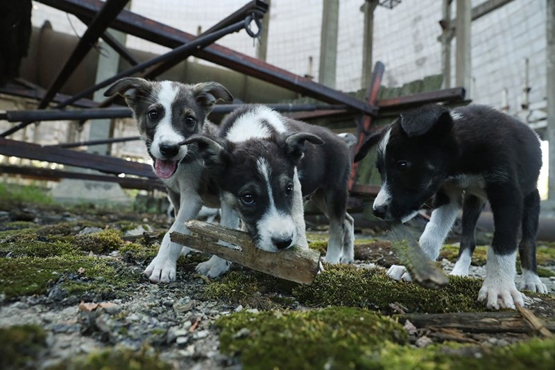 Dogs of Chernobyl that were born there and are monitored for the effects of radiation