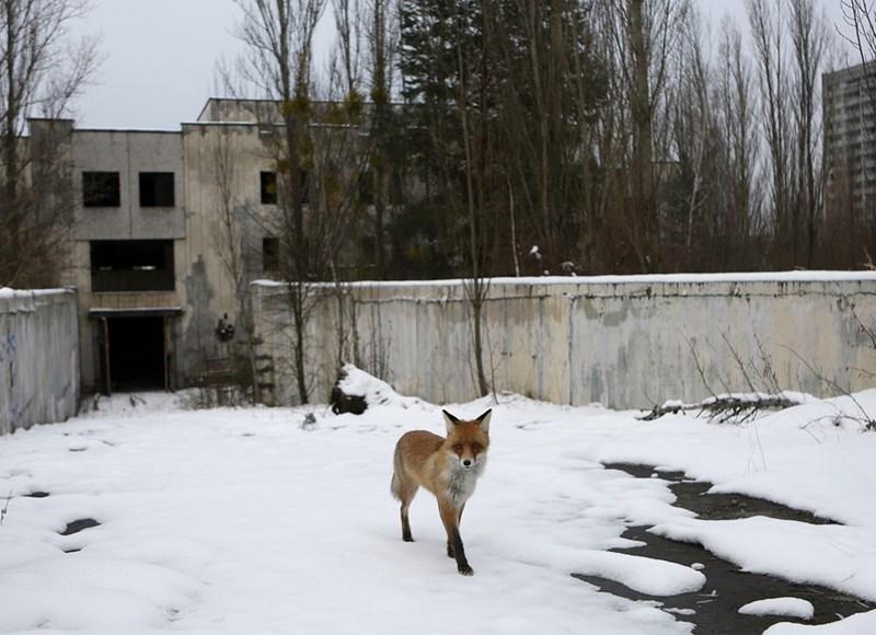Chernobyl fox