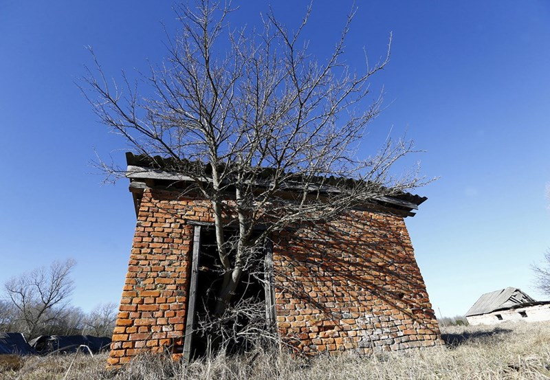 Tree growing outside a barn in the Chernobyl exclusion zone in Krasnoselie, Belarus