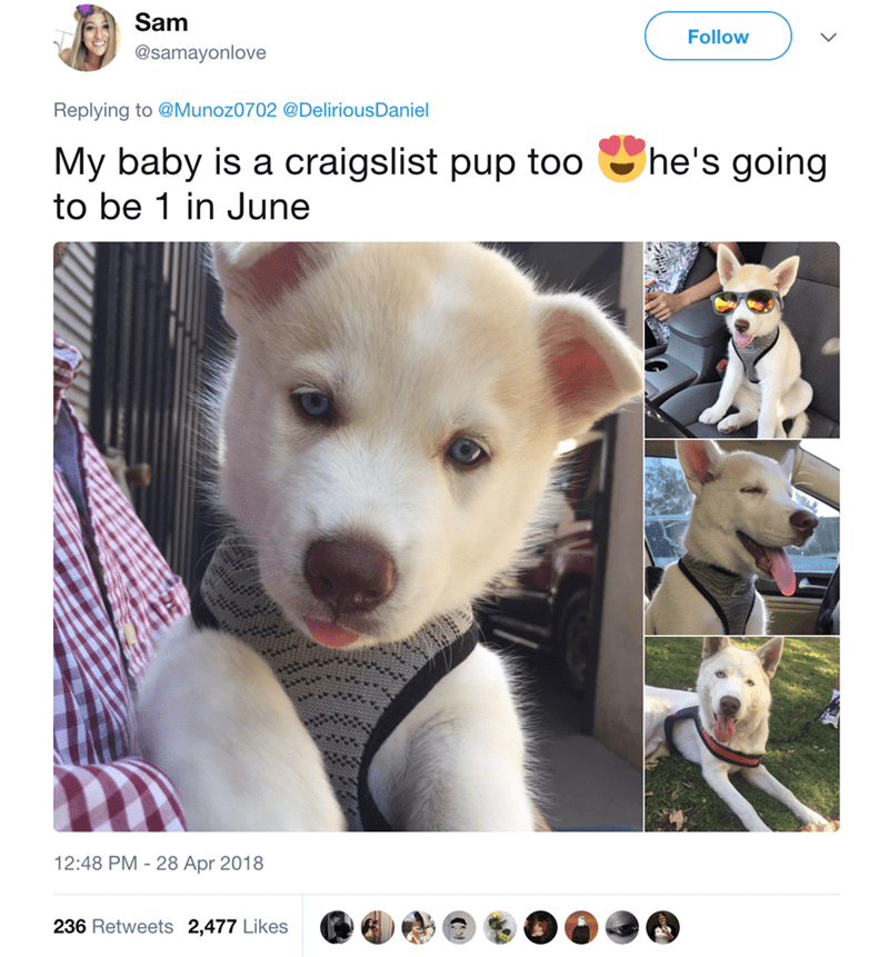 Vertebrate - Sam Follow @samayonlove Replying to @Munoz0702 @Delirious Daniel he's going My baby is a craigslist pup too to be 1 in June 12:48 PM 28 Apr 2018 236 Retweets 2,477 Likes
