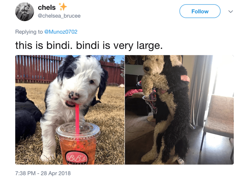 Dog - chels Follow @chelsea_brucee Replying to @Munoz0702 this is bindi. bindi is very large. Bs OFFEE 7:38 PM - 28 Apr 2018