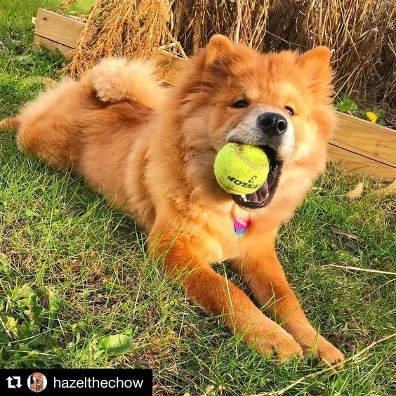dogs playing fetch - Dog - hazelthechow