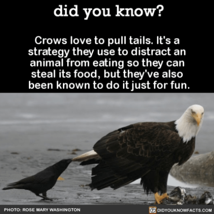 Bald eagle - did you know? Crows love to pull tails. It's a strategy they use to distract an animal from eating so they can steal its food, but they've also been known to do itjust for fun. DIDYOUKNOWFACTS.COM PHOTO: ROSE MARY WASHINGTON