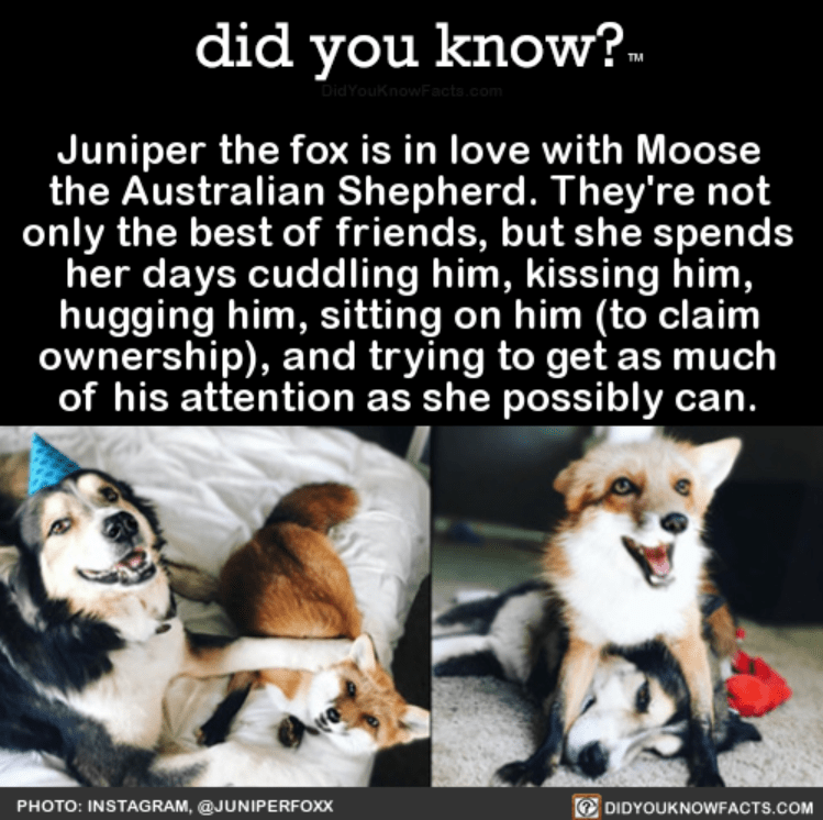 Dog - did you know?- DidYouKnowFacts.com Juniper the fox is in love with Moose the Australian Shepherd. They're not only the best of friends, but she spends her days cuddling him, kissing him, hugging him, sitting on him (to claim ownership), and trying to get as much of his attention as she possibly can. DIDYOUKNOWFACTS.COM PHOTO: INSTAGRAM, @JUNIPERFOXX