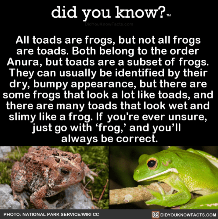 """Frog - did you know?. DidYouKnowFacts.com All toads are frogs, but not all frogs are toads. Both belong to the order Anura, but toads are a subset of frogs. They can usually be identified by their dry, bumpy appearance, but there are some frogs that look a lot like toads, and there are many toads that look wet and slimy like a frog. If you're ever unsure, just go with 'frog,"""" and you'll always be correct. DIDYOUKNOWFACTS.COM PHOTO: NATIONAL PARK SERVICEWIKI CC"""