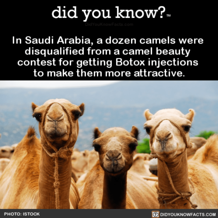 Camel - did you know?. DidYouknowFacts.com In Saudi Arabia, a dozen camels were disqualified from a camel beauty contest for getting Botox injections to make them more attractive. DIDYOUKNOWFACTS.COM PHOTO: ISTOCK