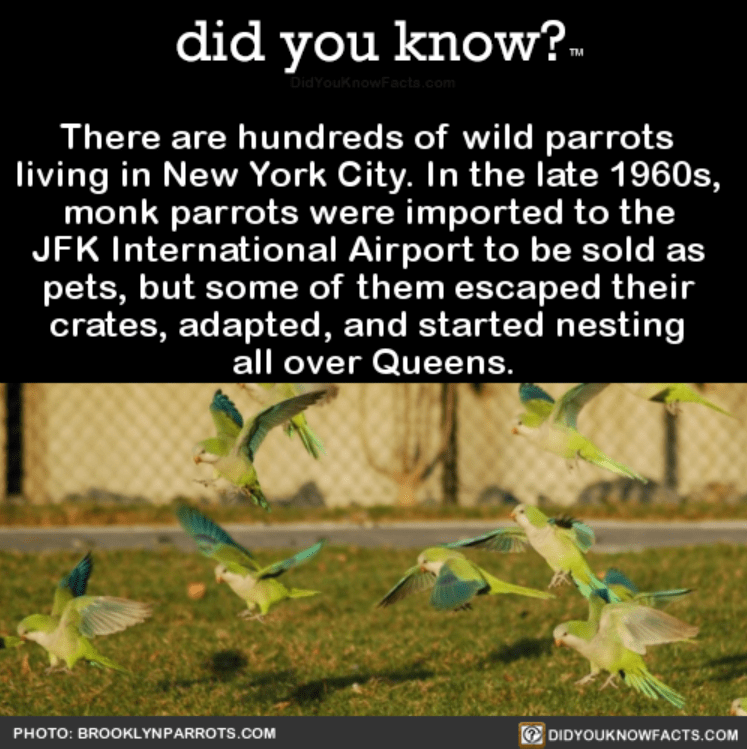 Nature - did you know? DidYouKnowFacts.com There are hundreds of wild parrots living in New York City. In the late 1960s, monk parrots were imported to the JFK International Airport to be sold as pets, but some of them escaped their crates, adapted, and started nesting all over Queens. DIDYOUKNOWFACTS.COM PHOTO: BROOKLYNPARROTS.COM