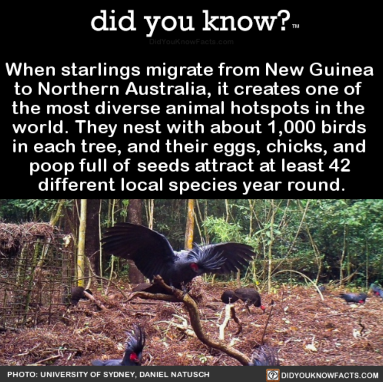Vegetation - did you know?. DidYouknowFacts.com When starlings migrate from New Guinea to Northern Australia, it creates one of the most diverse animal hotspots in the world. They nest with about 1,000 birds in each tree, and their eggs, chicks, and poop full of seeds attract at least 42 different local species year round. DIDYOUKNOWWFACTS.COM PHOTO: UNIVERSITY OF SYDNEY, DANIEL NATUSCH