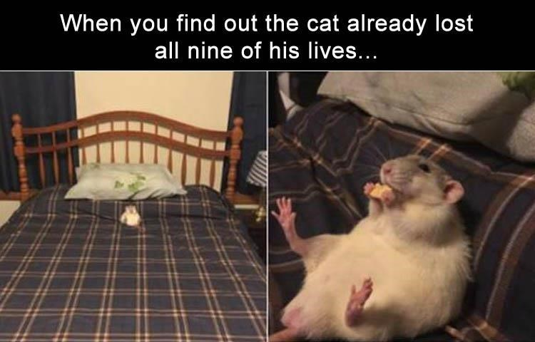 cat meme - Rat - When you find out the cat already lost all nine of his lives...