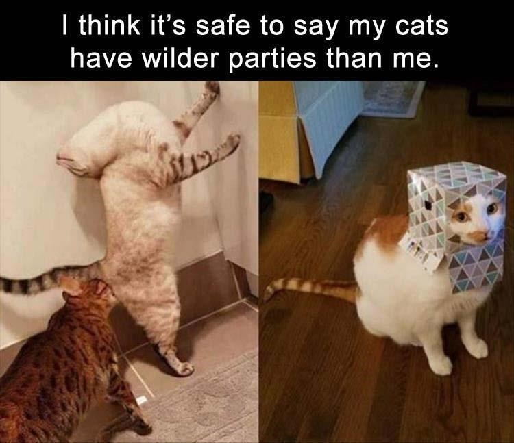 cat meme - Cat - I think it's safe to say my cats have wilder parties than me. W