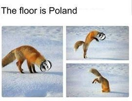 Red fox - The floor is Poland