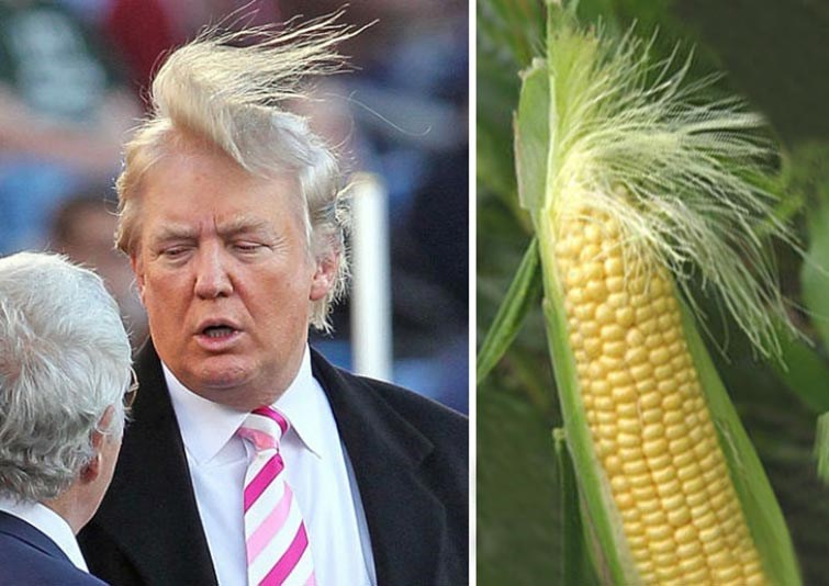 Meme about trump's hair and comparing his hairstyle to fibers of corn on the cob