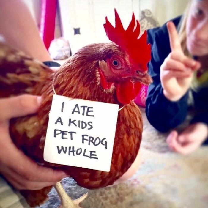 Chicken - ATE A KIDS PET FROG WHOLE