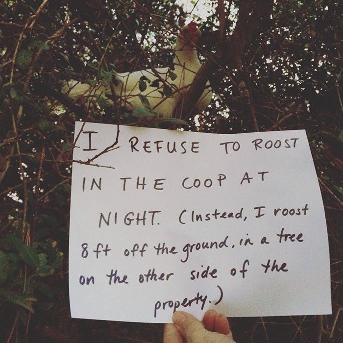 Text - REFUSE TO RooST IN THE cooP AT NIGHT CInstead, I roost 8 ft off the ground, in a tree the other side of the Property