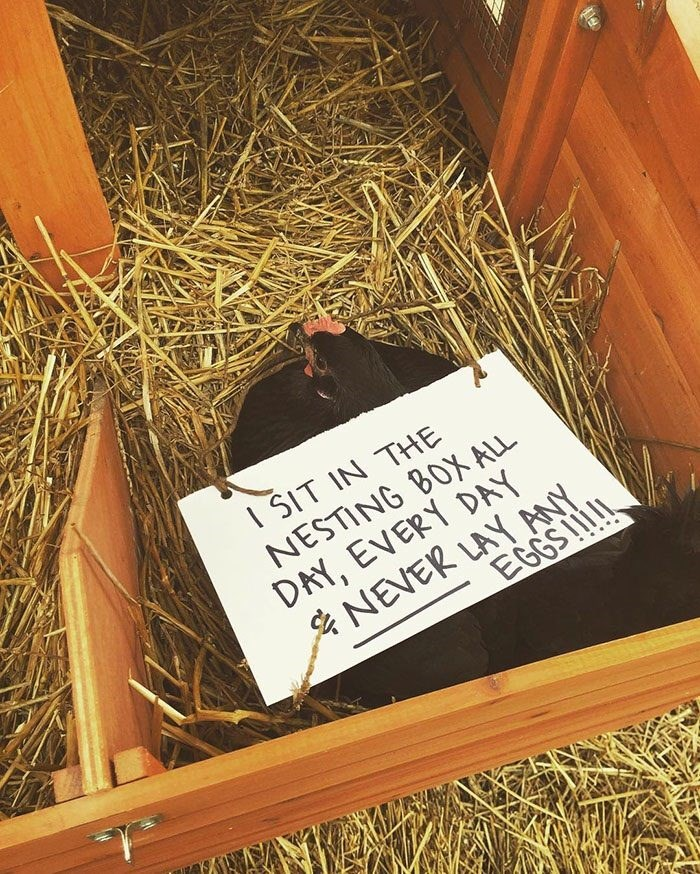 Wood - I SIT IN THE NESTING BOX ALL DAY, EVERY DAY NEVER LAY AY. EGGSIlI