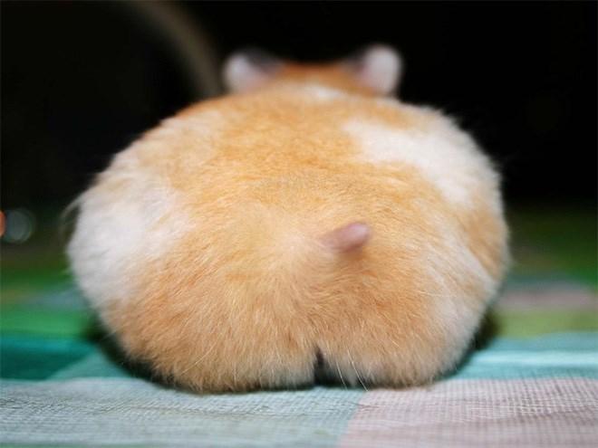 hamster butt - Hamster