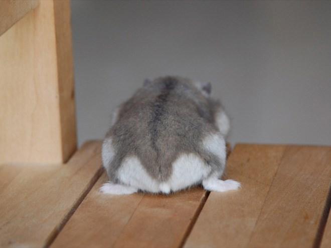hamster butt - Mammal