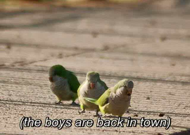 meme - Bird - (the boys are back in-town)