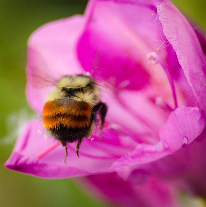 cute bee - Honeybee