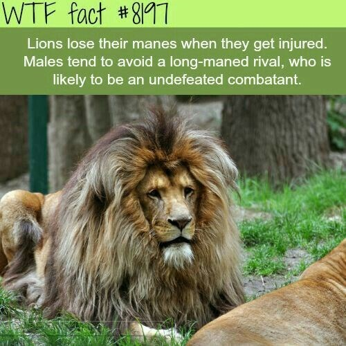 fun fact about lion manes and how a big mane means they are undefeated in combat