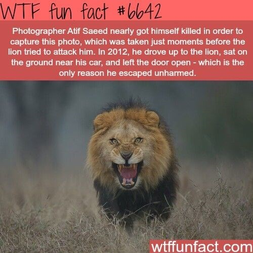 fun fact lion photo that almost got the photographer eaten by the charging lion in this photo