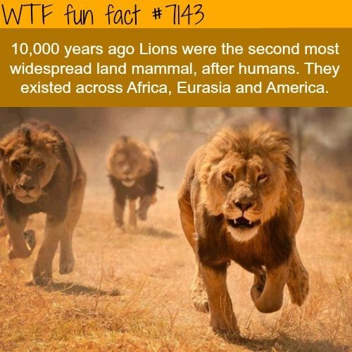 lion fun fact about how they were the most widespread land mammals after humans including Africa, Eurasia and Americas