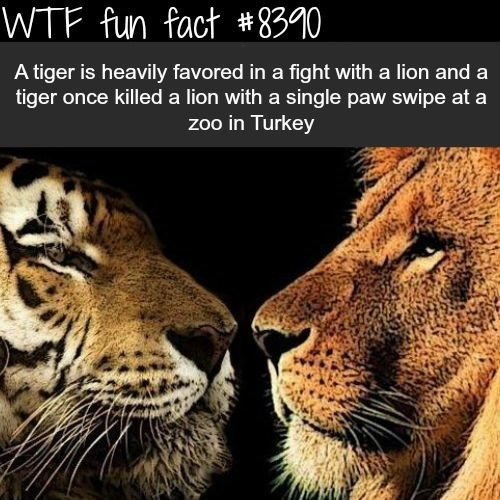 lion is not as strong as a tiger and once in Turkey a tiger killed a lion with one swipe of his paw