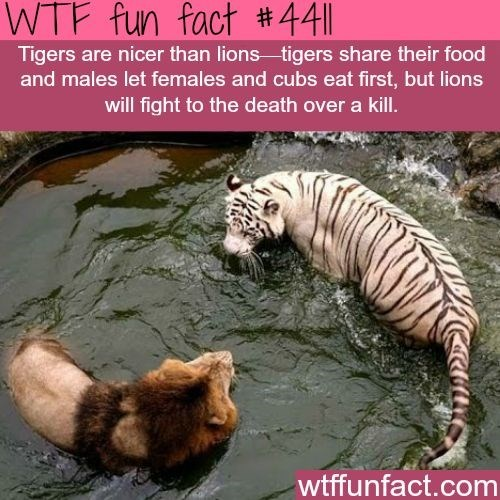 fun fact about lions and how tigers are nicer than them and share their food with females and the cubs